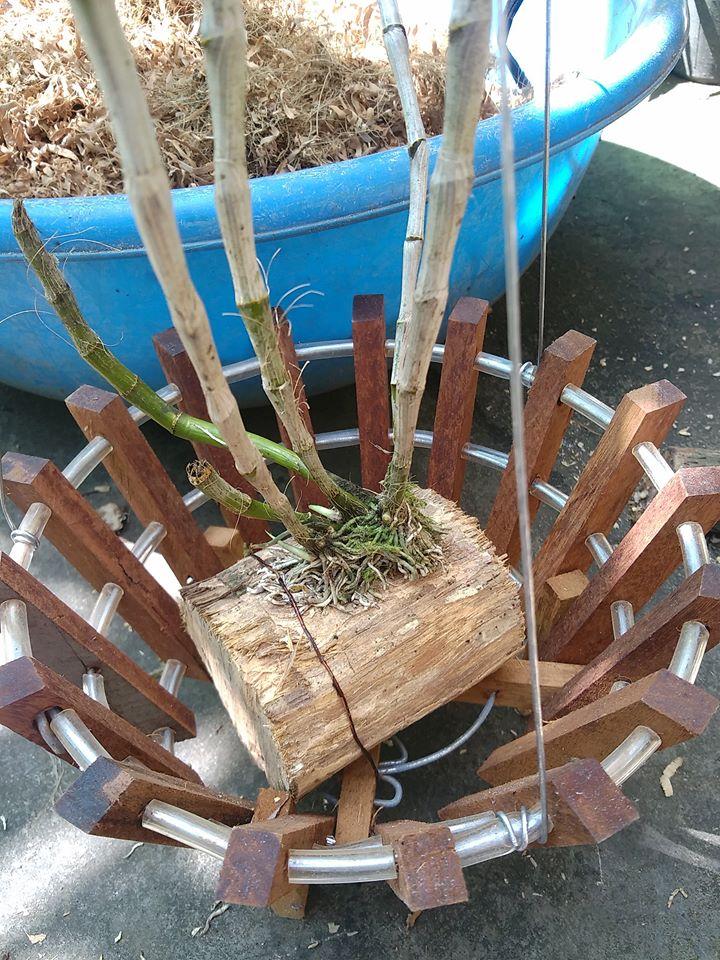 Ghép la Ý Ngọc vào giá thể gỗ